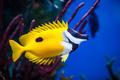 Onespot Foxface Rabbitfish Closeup in an Saltwater Aquarium