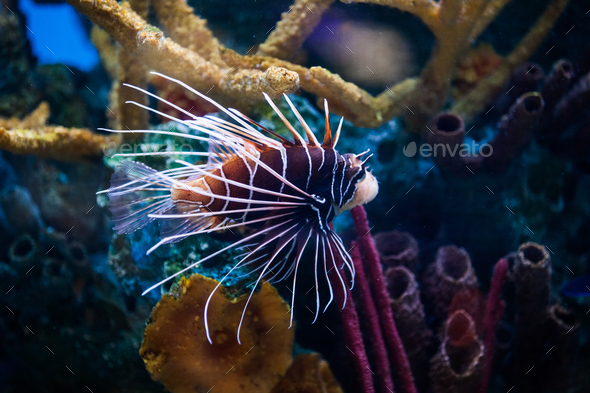 Beautiful Lionfish (Pterois) Swimming Alone in an Aquarium - Stock Photo - Images
