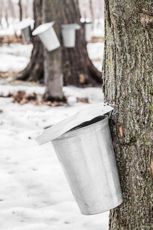 Forest of Maple Sap buckets on trees - Stock Photo - Images