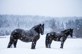 Horses Looking at the Camera during a Snowstorm
