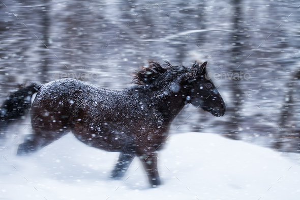 Fast Horse Galloping during a Blizzard in Nature - Stock Photo - Images