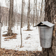 Forest of Maple Sap buckets on trees - PhotoDune Item for Sale