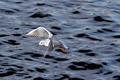 Gull flying above river - PhotoDune Item for Sale