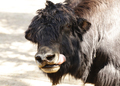 Portrait of a Bull Yak