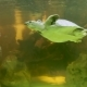 Pig-nosed Turtle (Carettochelys Insculpta), Also Known As the Pitted-shelled Turtle or Fly River