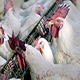 Poultry farm - VideoHive Item for Sale