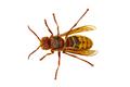 European hornet (Vespa) on a white background