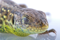 Head detail of lizard (Lacerta agilis)