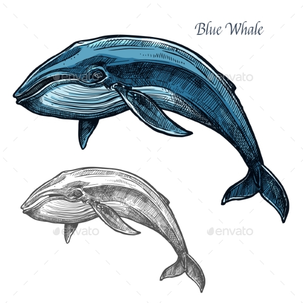 GraphicRiver Blue Whale Isolated Sketch for Sea Animal Design 20568449