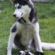 husky mother - PhotoDune Item for Sale