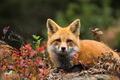 Red Fox - Vulpes vulpes. Laying down in the colorful fall vegetation.