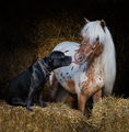 Staffordshire Bull Terrier dog and appaloosa American miniature horse.