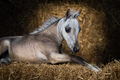 American Miniature Horse. Dun foal lying on straw. - PhotoDune Item for Sale