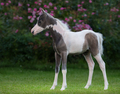 American miniature horse. Pinto foal is one month of birth. - PhotoDune Item for Sale