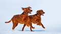 Two Red Irish Setters are running over white snow in winter. - PhotoDune Item for Sale