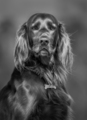 Irish Red Setter. Black-and-white portrait of dog. - PhotoDune Item for Sale