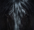 Andalusian black horse with long mane. Portrait close up.  - PhotoDune Item for Sale