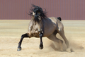 Andalusian horse playing on sand. - PhotoDune Item for Sale