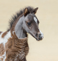 American miniature silver bay skewbald foal. - PhotoDune Item for Sale