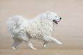 White fluffy dog of breed Samoyed dog running on beach. Monochrome sand color background. - PhotoDune Item for Sale