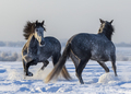 Dancing Andalusian horses. Two Spanish gray stallions playing together - PhotoDune Item for Sale