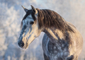 Winter portrait of Andalusian gray horse with long mane at sunset light - PhotoDune Item for Sale