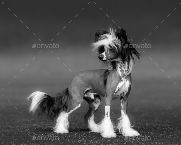 Black-and-white photo of dog. Chinese Crested Dog Breed. - Stock Photo - Images