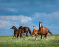 Herd of horses walks in field. Two mares with foals on pasture. - PhotoDune Item for Sale