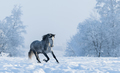 Winter snowy landscape. Galloping grey Spanish horse - PhotoDune Item for Sale