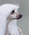 Chinese Crested Dog Breed.  - PhotoDune Item for Sale