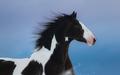 Portrait of American Paint horse on dark blue background