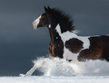 American Paint horse running gallop across winter snowy field - PhotoDune Item for Sale