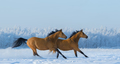Two free horses gallops across field in winter.  - PhotoDune Item for Sale