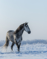 PRE Andalusian gray horse walks on freedom - PhotoDune Item for Sale
