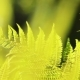 Fern Leaves Camera Movement at Sunset - VideoHive Item for Sale