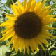 Sunflowers with Bees - VideoHive Item for Sale