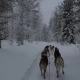 Dogsled in Winter Forest - VideoHive Item for Sale