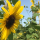 Sunflowers with bee in the wind - Slow Motion - VideoHive Item for Sale