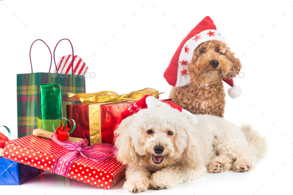 Cute Christmas Puppies.Cute Poodle Puppies In Santa Costume With Abundant Christmas Gif