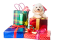 Cute poodle puppy in Santa costume with abundant Christmas gifts