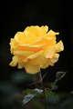 Yellow rose in the garden - PhotoDune Item for Sale