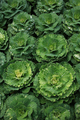 Decorative coloured cabbage on plant - PhotoDune Item for Sale