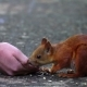 The Red-haired Squirrel Eats Sunflower Seeds. She Takes the Seeds From the Boy's Hand, Cleans Them - VideoHive Item for Sale