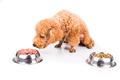 Poodle dog choosing between raw meat or kibbles as meal