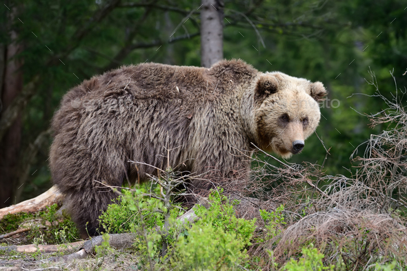 Brown bear in the forest - Stock Photo - Images
