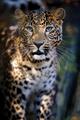 Close leopard portrait