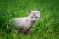Fox cub in grass