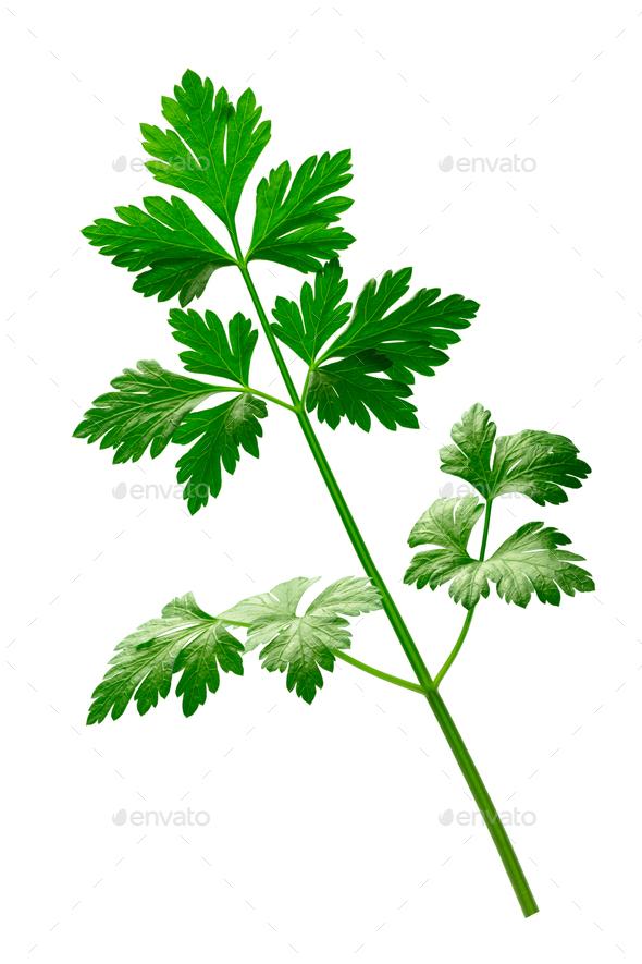 Parsley (Petroselinum crispum), paths - Stock Photo - Images