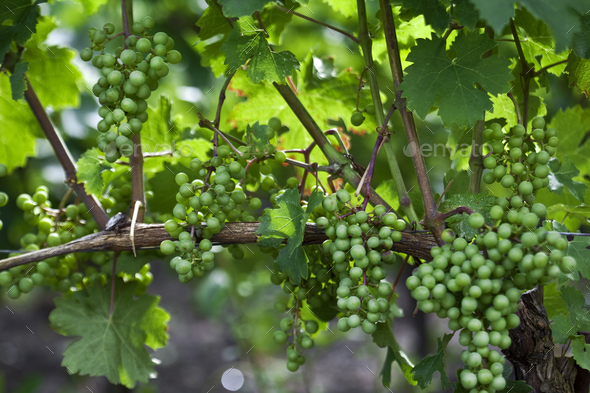 Green grapes in vineyards - Stock Photo - Images
