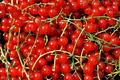 Redcurrant berries - PhotoDune Item for Sale
